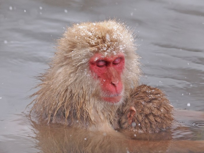 Snow Monkey - Japanese Macaque, Japan. Photo: CHun Hsien Huang