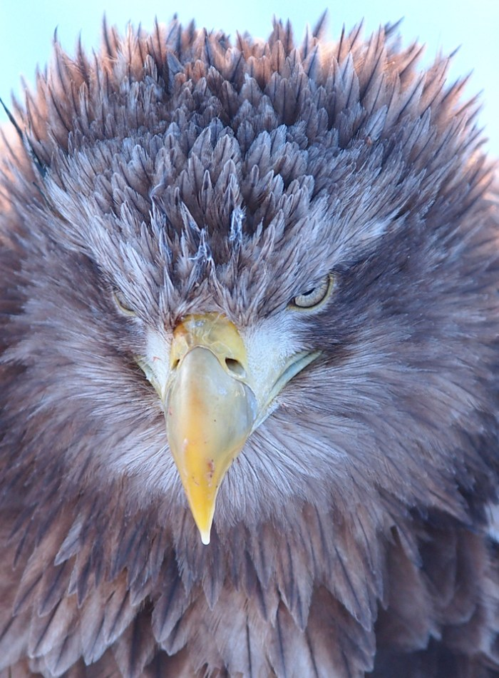 Golden-eagle close up. Photo: ChunHsien Huang