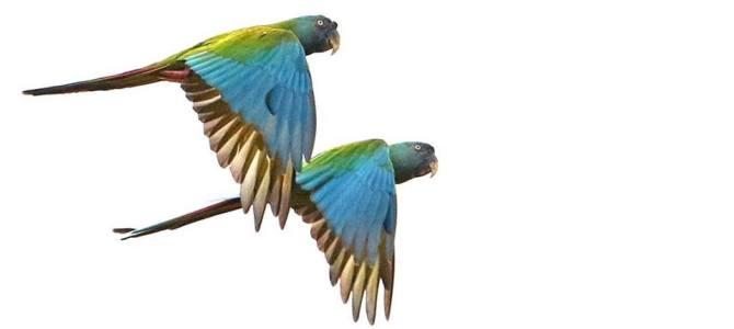 Tomorrow we start the BIG MONTH of Peruvian Birding