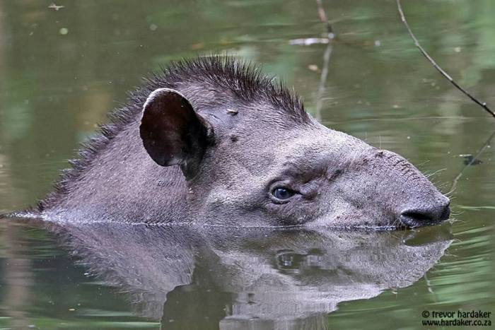 Tapir. At Amazonia Lodge. Photo: Trevor Hardaker