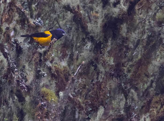 Golden-backed Mountain-Tanager. Bosque Unchog. Nov 22, 2020. Gunnar Engblom