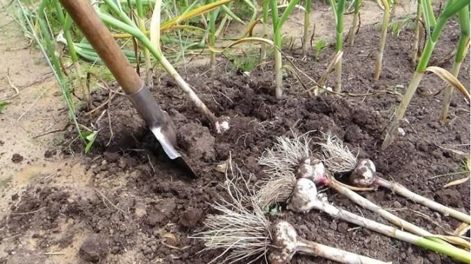 Що можна посадити на грядках часнику після збору врожаю. Я ніколи не залишаю землю порожньою