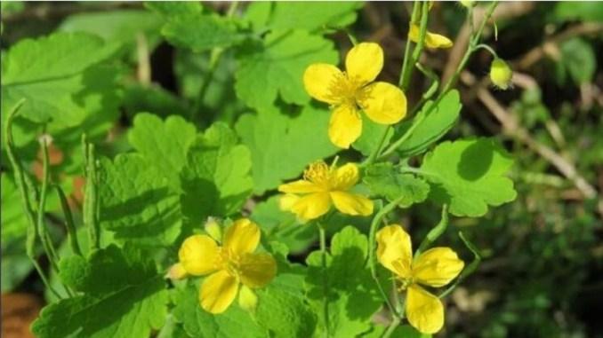 Чистотіл — ця рослина справжній «подарунок небес». Ось від чого він допомагає!