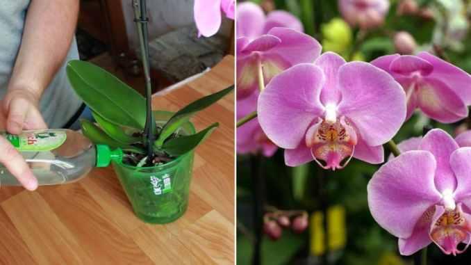 Домашнє добриво для орхідей. Всього пару поливань, і квітів не впізнати!