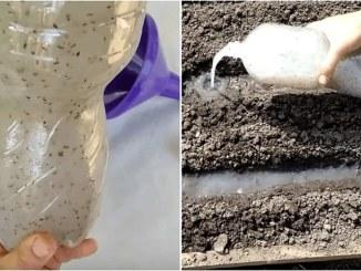 Розумний спосіб посадки моркви, без проріджування, для гарного врожаю