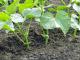Як правильно поливати огірки?