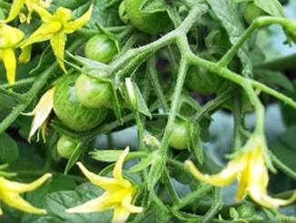 ЗА КОПІЙКИ! СУПЕР підживлення помідорів під час цвітіння для збільшення врожаю