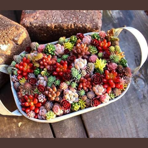 FLESH TONED SUCCULENTS – 300 SEEDS