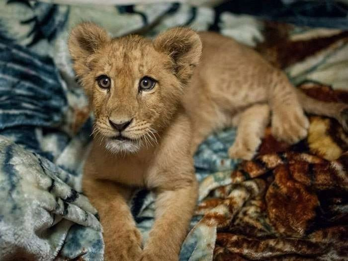 rescued-african-lion-sleeping-with-blanket