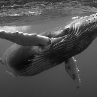 Okyanusun derinliklerindeki balinalar
