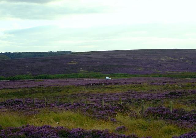 North York Moors wrzosowiska