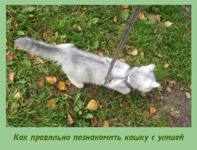 познакомить кошку с улицей