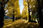 4. Added to retired painters and frolicking children, persons of all age come in autumn to collect Ginkgo fruits on the campus very emblematic Ginkgo alley. Autumn nights are the best to enjoy the carpet of yellow leaves while walking or biking back home after a weary day.