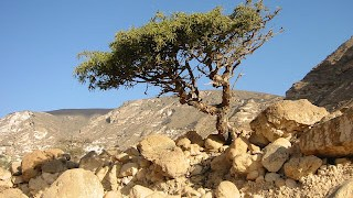 commiphora-myrrha