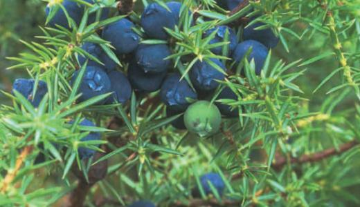 ジュニパーベリー(Juniper berry)
