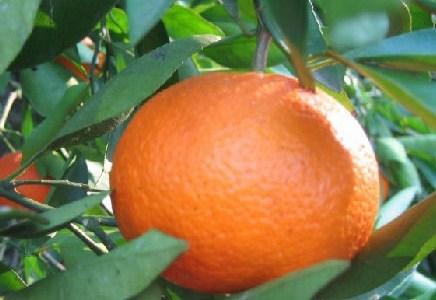 オレンジスイート(Sweet orange)