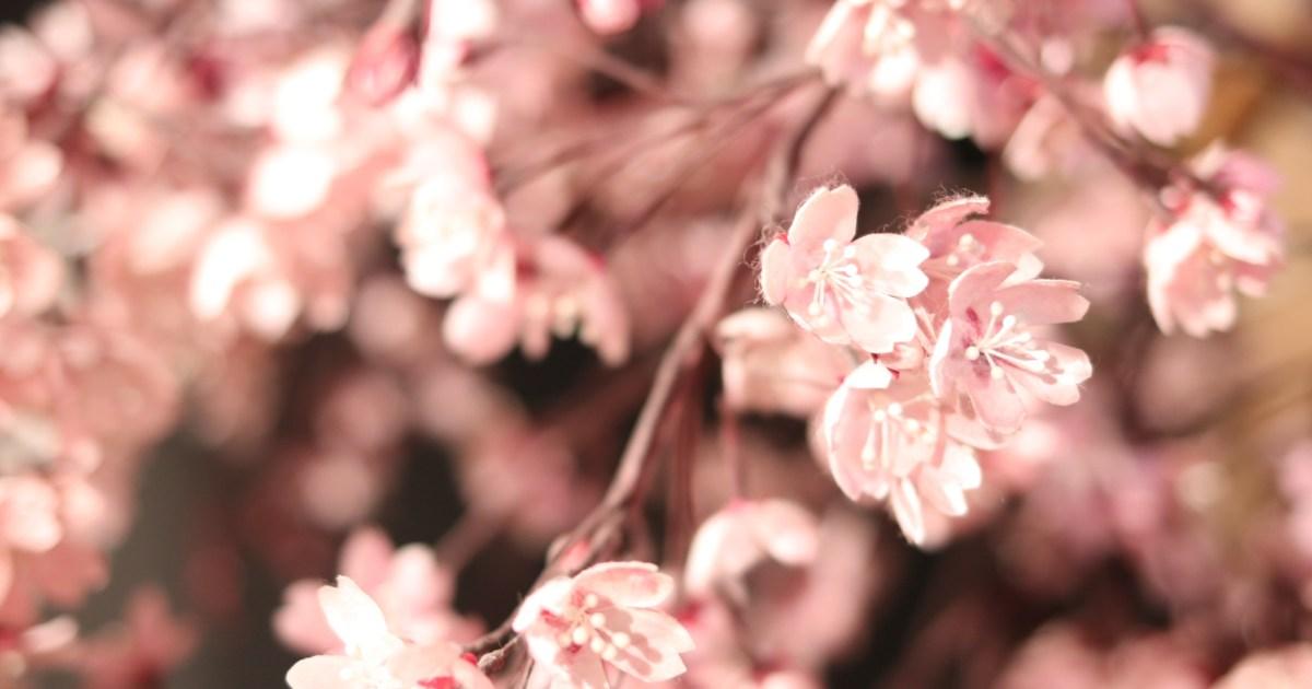mayu-sakura