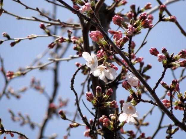 桜その三の写真 2012年3月28日