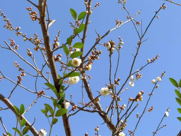 梅の花2の写真 2012年2月12日