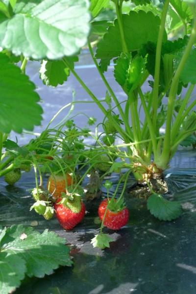 有機農業講座01 イチゴ