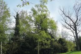 Die Simons Pappel zeigt im Frühjahr als erster Baum ihr zartes Grün.