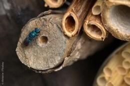 Und kaum sorgen ein paar solitär lebende Wildbienen oder Wespen in den Nisthilfen für Nachwuchs, nutzen das parasitär lebende Arten (wie zum Beispiel die Gemeine Goldwespe) aus und legen ein eigenes Ei mit in die fremde Höhle.