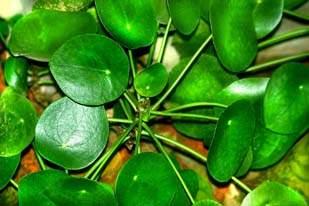 Комнатное Растение С Круглыми Листьями Фото