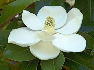 Ficus Rulbing Blossom