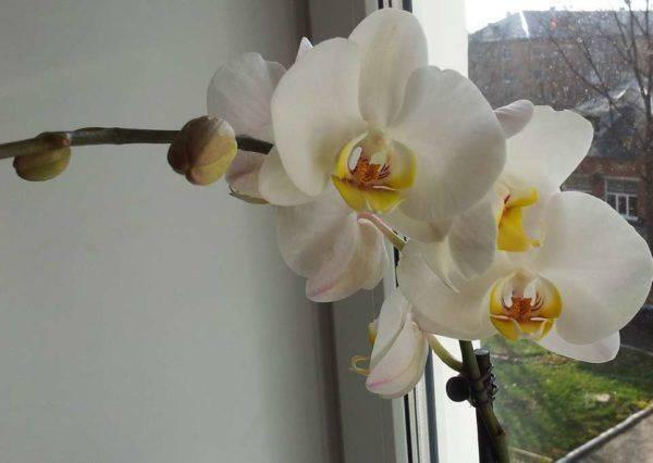 Орхидея символ значение