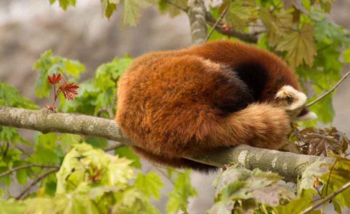 Foto: Panda_schlafend - ein Tier muss nichts leisten und hat keinen Leistungsdruck