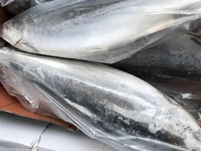 В Оренбуржье утилизирована крупная партия опасной рыбы лососевых пород