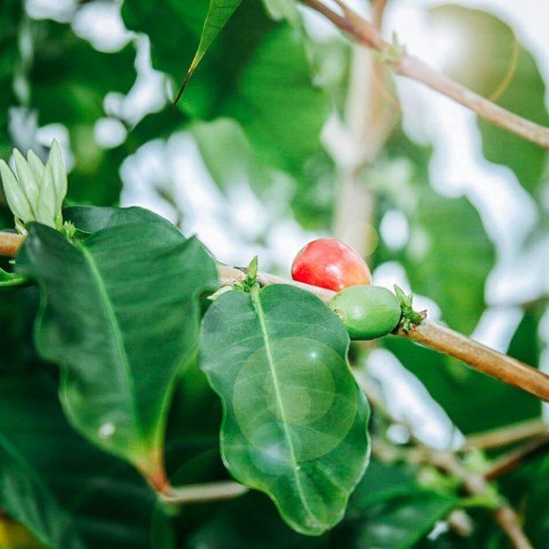 Kona Coffee Cherry