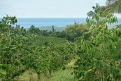 Kona Coffee Farm Views
