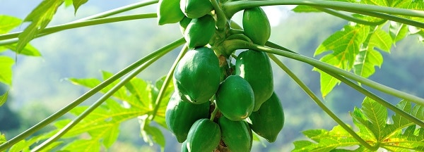 Identifying Exotic Fruit Trees in Hawaii