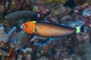 Male dPsychedelic Wrasse by Bo Pardau