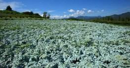 Feld mit Konjak Pflanzen