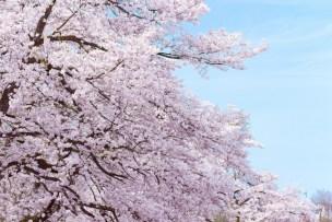 桜やお花見のトリビアうんちく集!