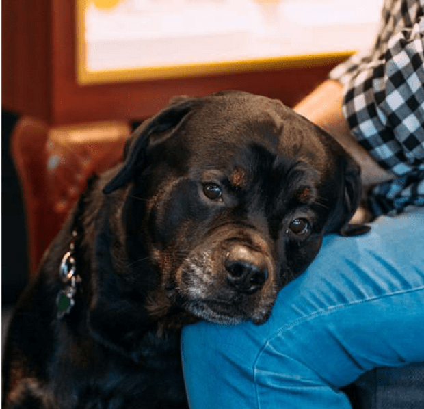 Shaughnessy family's Rottweiler Bart .png