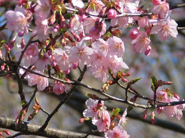 「修善寺桜」の画像検索結果