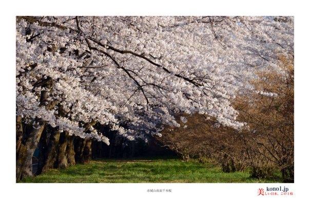 赤城山南面千本桜02
