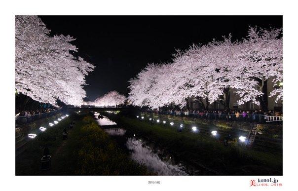 野川の桜01