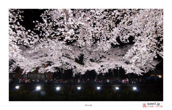 野川の桜02