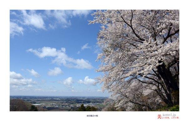 雨引観音の桜04