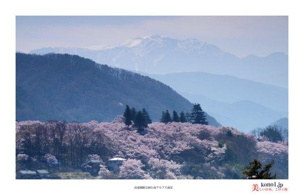 高遠城趾公園桜2_02