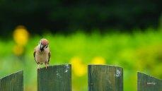 壁紙 可愛いスズメ Sparrow in the garden.