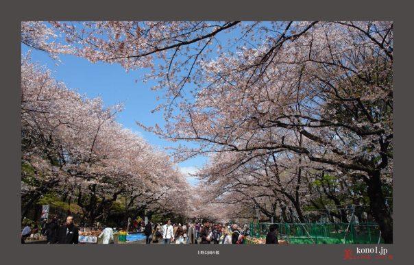 上野公園の桜08