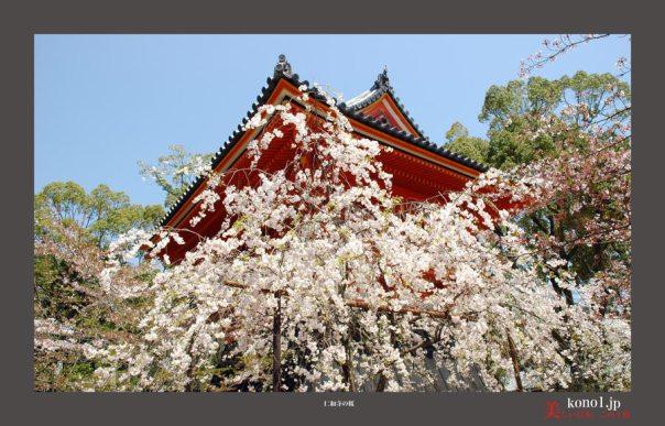 仁和寺御室桜06