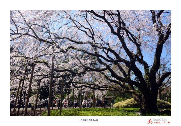 六義園桜10