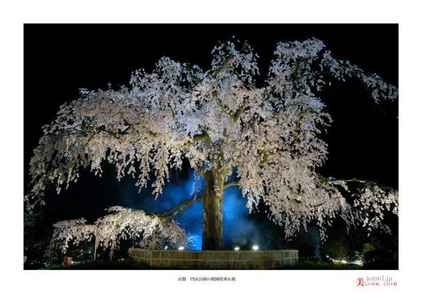 円山公園桜01