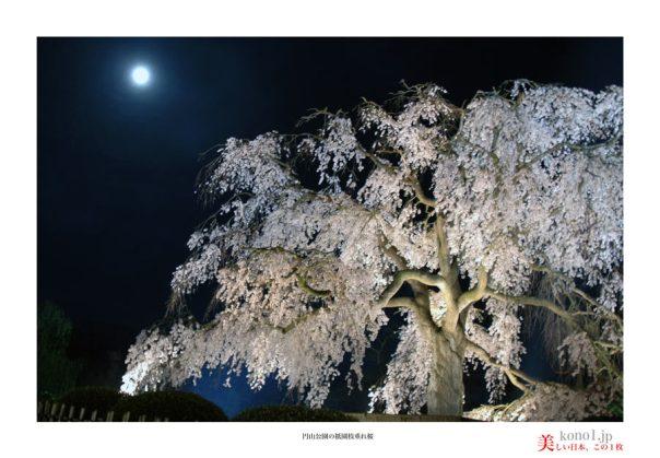 円山公園桜04